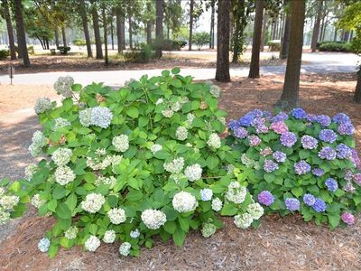 Hydrangeas in Yard