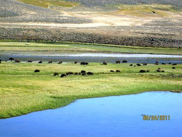 Grazing Bison in the Lamar Valley