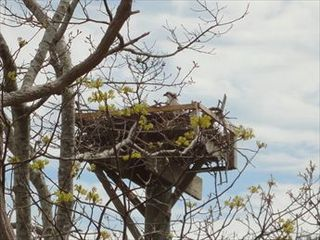 New Seabury cottage photo - Osprey Nests
