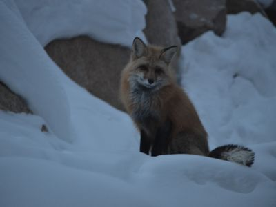 One of the friendly red foxes that frequent the rocks behind our house