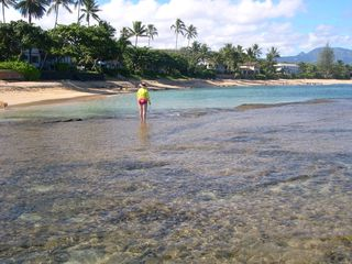 Haleiwa house photo - Reef walking in the morning - Hau Tree is just left of persons head