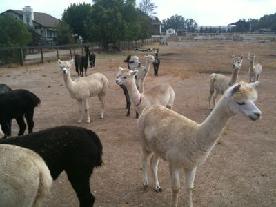 Alpacas down the road