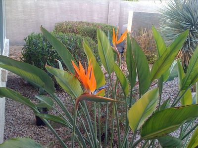Birds of Paradise - April 2011 in full bloom - beautiful landscaping