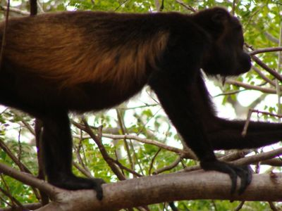 Howler monkey visiting our beach