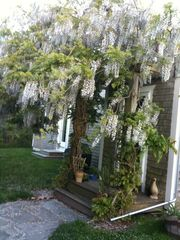 Chilmark house photo - Wisteria drips from arbor