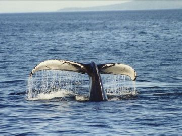This photo was taken from the deck. Whale watching is truly amazing here!