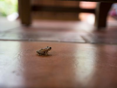 Hi, I am a COQUI, one of a group of little tree frogs unique to Island - Welcome
