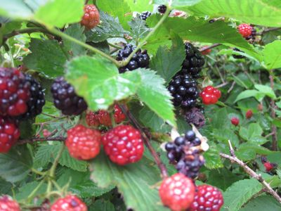 Free blackberries for all. July is peak for blackberries and we have acres.