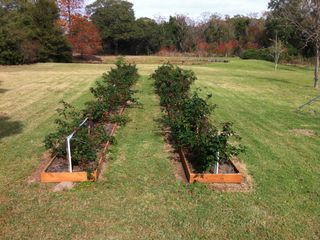 Brenham estate photo - Blackberry patch