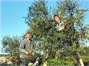 Owner and friend picking olives in the fall