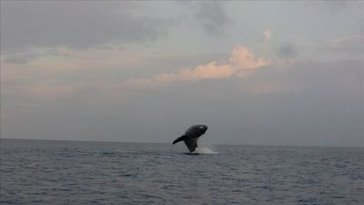 Want to see a whale breahing? Go on a whale watching ride December thru' April