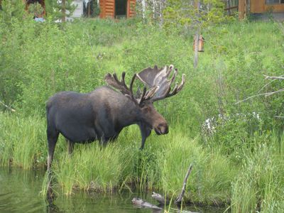 The moose that trapped us in a canoe on Columbine Lake.