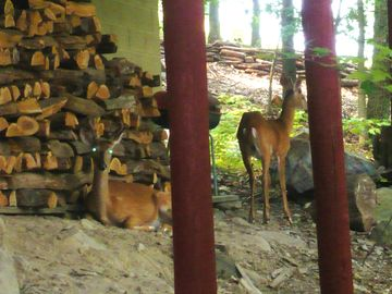 2 young bucks resting daily under the deck this summer