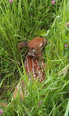 Alton farmhouse photo - You may have the chance to witness a new born fawn in the early summer!