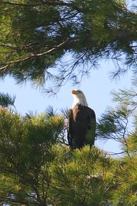 Eagle on the lake in 2004; we wish he'd come back! We think he found a mate.