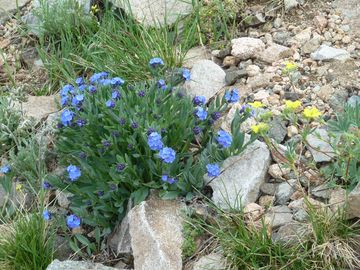 Wild Flowers on the Beartooth Highway.