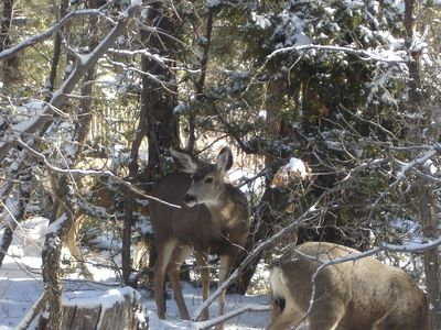 Deer enjoying the Juniper Tree...taken from kitchen window.