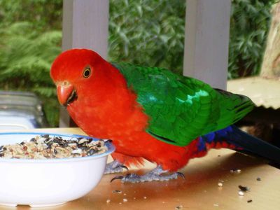 Some more feathered friends (King Parrot)