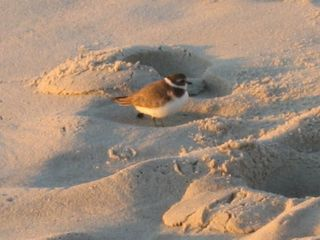 Beach Haven house photo - Plover on the beach
