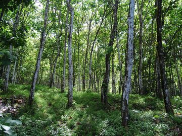 Take a walk in our 25 years old teak forest