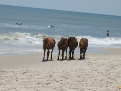 Assateague Island ponies