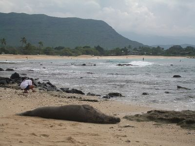 Rare Monk Seal sunbath on sand in front of Suite