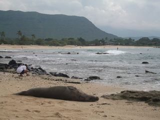 Makaha studio photo - Rare Monk Seal sunbath on sand in front of Suite