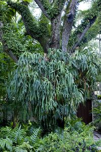staghorn fern in front of house