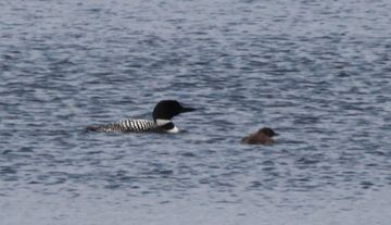 Loon and chick on Silver Lake.