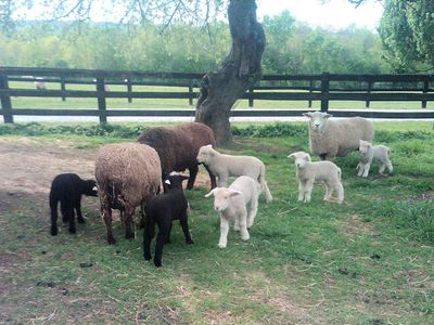 Spring lambs and moms
