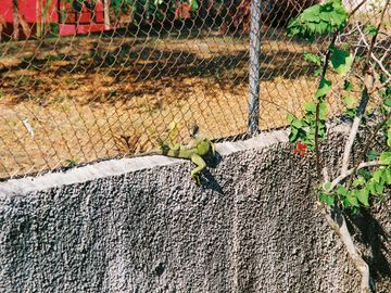 one our local iguanas