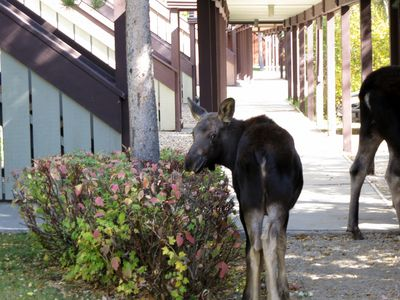 Mama and Baby moose in front of condo