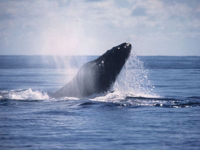 Participate in a whale watching excursion right from the lanai.