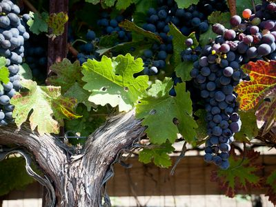 Table Grapes outside Merlot Cottage