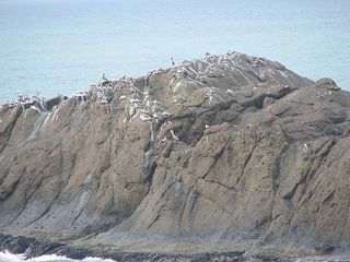 Depoe Bay townhome photo - Large flock of Pelicans on ocean rock across from rental.