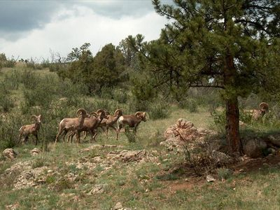 Bighorns Out Back