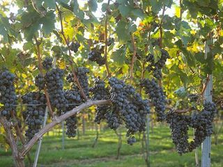 Lovettsville cottage photo - Ripening Cabernet Franc Grapes at WeatherLea