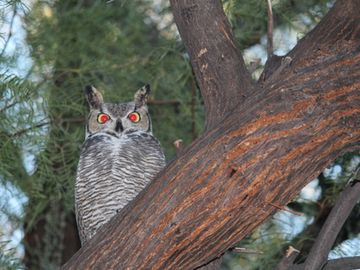 Great horned owl in the back yard