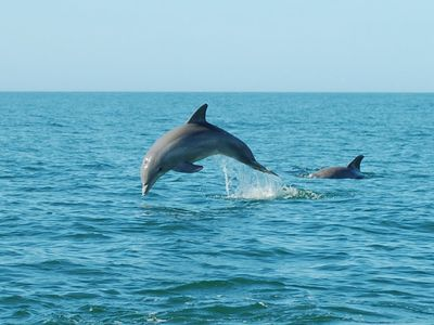 Dolphins can be seen right at the at the beach playing on many occasions.