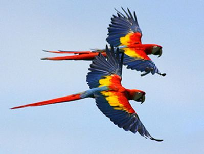 YOU'LL SEE MACAWS FLYING EVERYDAY, THEY LIVE ALL AROUND THE AREA.