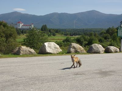 Fox in front of Mt. Washington Resort and National Forest (great spot to visit)
