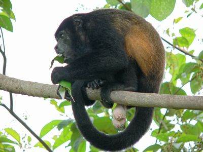 Howler monkey off deck. Is it a male or female??