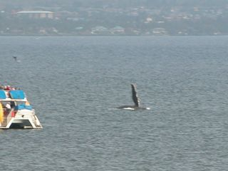 Maalaea condo photo - Photo from our lanai of Humpback whale. Look for baby whale tale above boat!