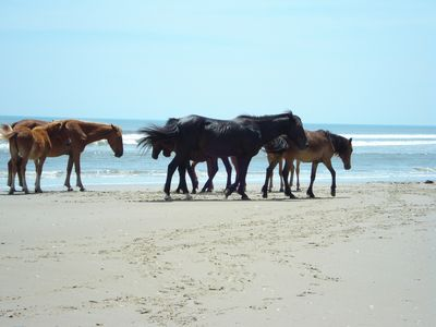 Wild mustangs of Corolla. Ancestors were the survivors of old Spanish shipwrecks