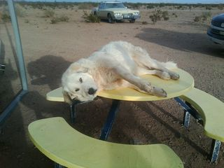 Albuquerque house photo - Layla, 24 hour working dog. Livestock guardian and herder.