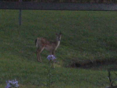 Lake Visitor at Dusk, 20 Yards from Pool Deck
