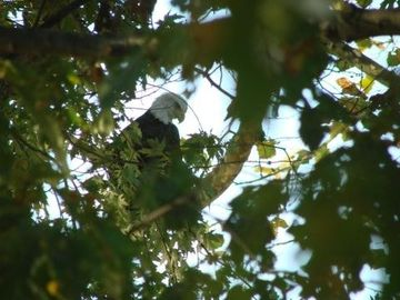 Guest photo of bald eagle in our back yard