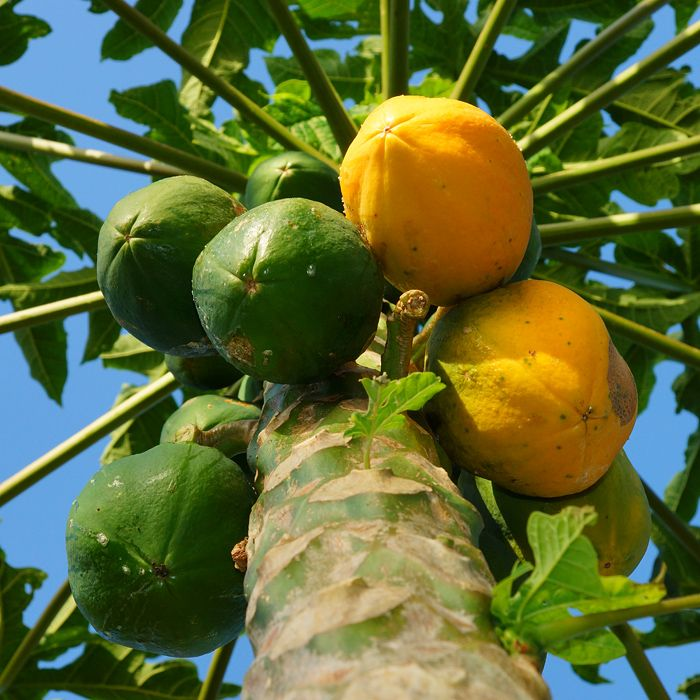 Papayas are abundant on the Island. Photo by former guest Clive Schaupmeyer.
