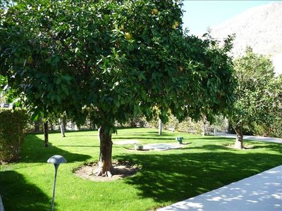 Palm Springs condo rental - Common green area for residents with grapefruit, orange and palm trees