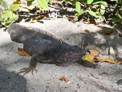 See an iguana close up and personal!